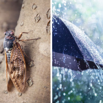 The recent rain announces the spring season and the arrival of the cicadas.
